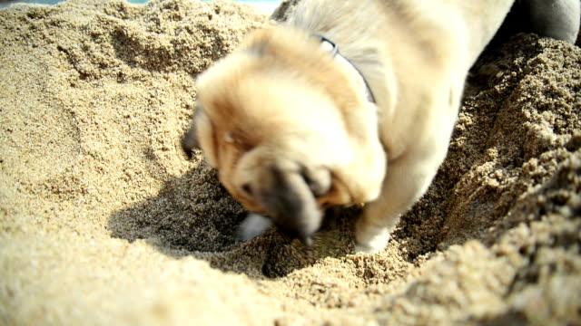Pug dog playing