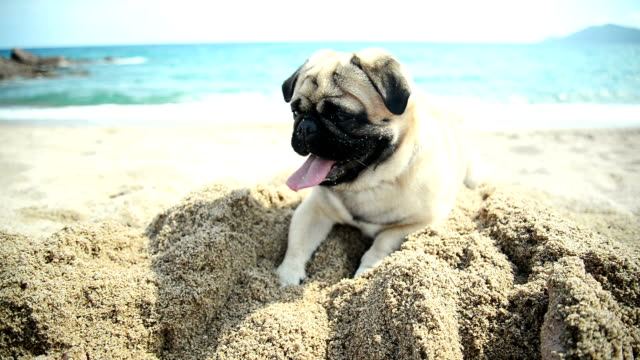 Pug dog playing Cute pug dog is at the beach. He is playing in the sand near the sea. He is looking at camera. panting stock videos & royalty-free footage