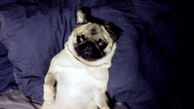 Pug dog resting and yawn in bed on a pillow on his back, falls asleep, tired and lazy, the pug looks into the camera in close-up
