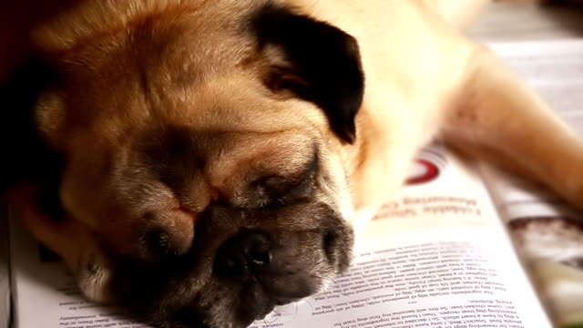Pug dog Sleeping video