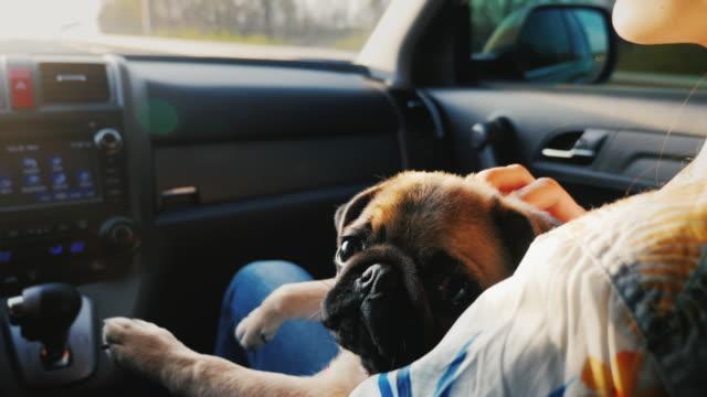ein pug-hund fährt in einem auto auf seinem schoß neben der herrin. wir reisen mit ihrem lieblingstier zusammen - dog car stock-videos und b-roll-filmmaterial