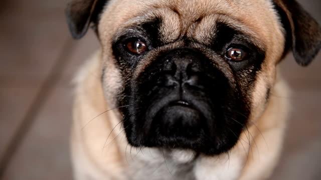 vidéos et rushes de chien carlin - tête d'un animal
