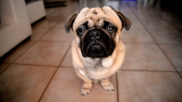 Pug dog Cute little dog is at home. He is sitting and looking at camera. paw stock videos & royalty-free footage