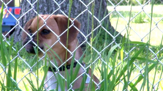 Puggle Barking behind Fence video