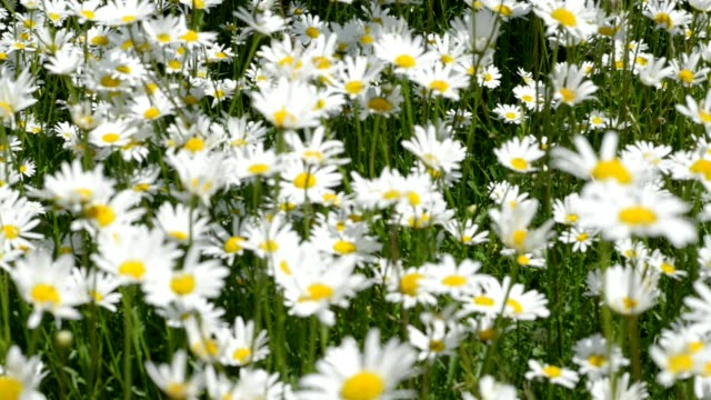 pull focus view of daises moving in summer breeze - rack focus video stock e b–roll