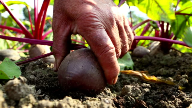 Pulling a beet from the ground video