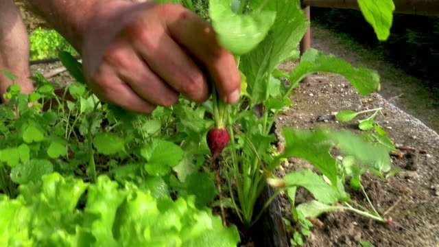 vídeos de stock e filmes b-roll de pulling out red vegetable - crucíferas