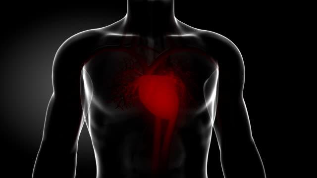 vídeos de stock e filmes b-roll de pulsante coração vermelho - seio coronário