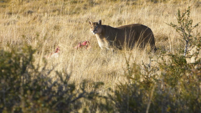 Puma eating a Guanaco in the grass of Torres del Paine