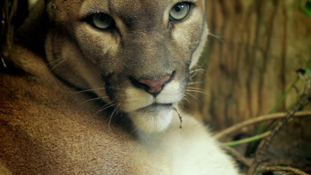 Puma headshot. video