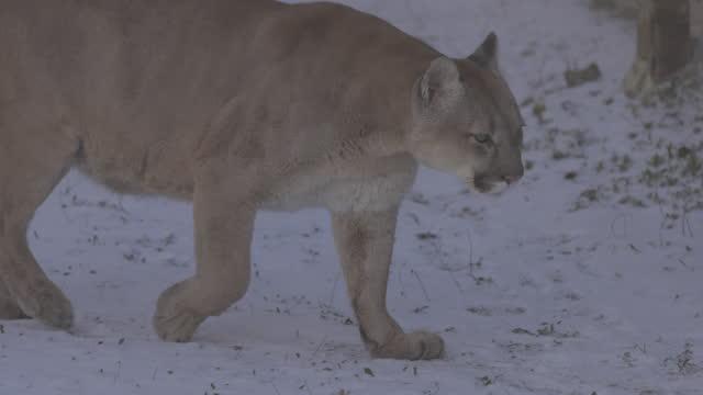 vídeos de stock, filmes e b-roll de puma na floresta, leão da montanha, gato solteiro na neve. cougar caminha pela floresta de inverno. câmera lenta 4k, prores 422, c-log 10 bits não degradados - felino