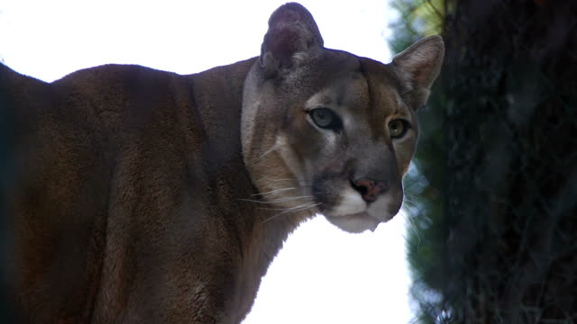 puma - leopard bildbanksvideor och videomaterial från bakom kulisserna
