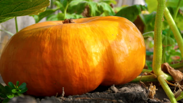 Pumpkin growing in the vegetable garden.