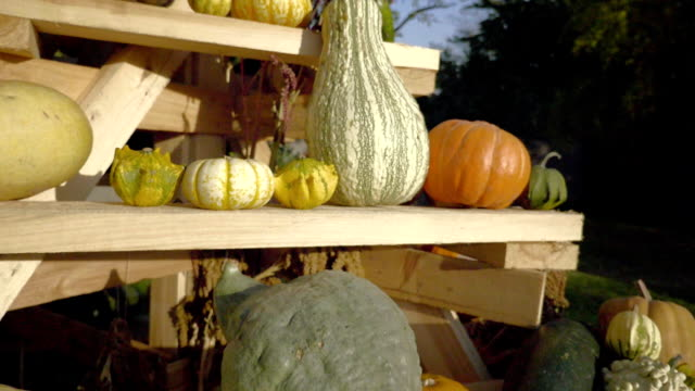 Pumpkin harvesting. Halloween pumpkins. Autumn rural rustic background with vegetable marrow. video