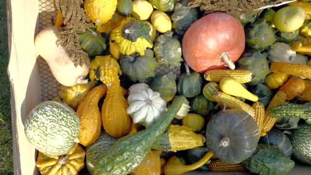pumpkin harvesting. halloween pumpkins. autumn rural rustic background with vegetable marrow. - zucca legenaria video stock e b–roll