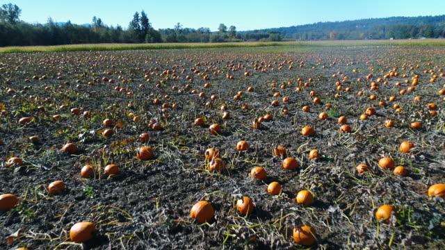 pumpkin patch antenne drohne über feld - verfault stock-videos und b-roll-filmmaterial