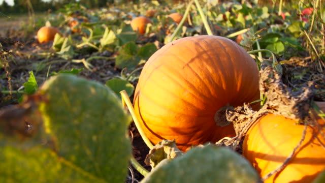 pumpkin patch - pumpkin стоковые видео и кадры b-roll