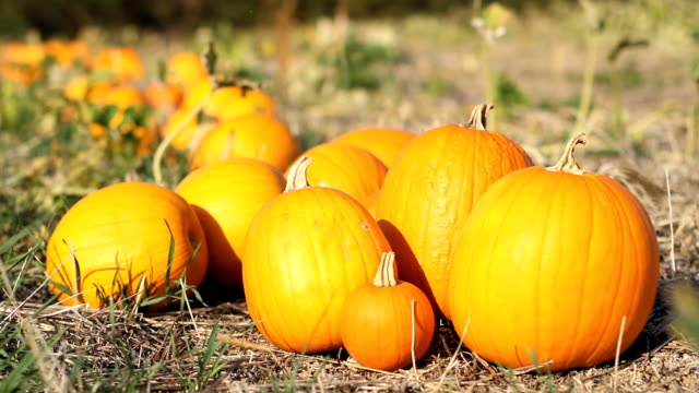 Pumpkin Pile - Row - Depth of Field video