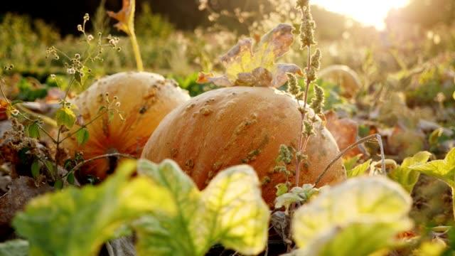 Pumpkins growing in organic vegetable garden