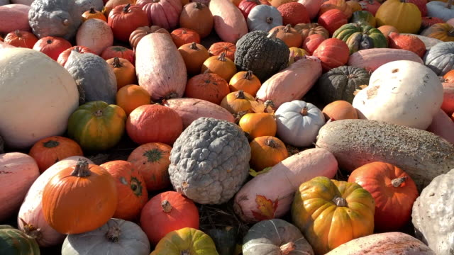 pumpkins of different colors and sizes laid out - zucca legenaria video stock e b–roll