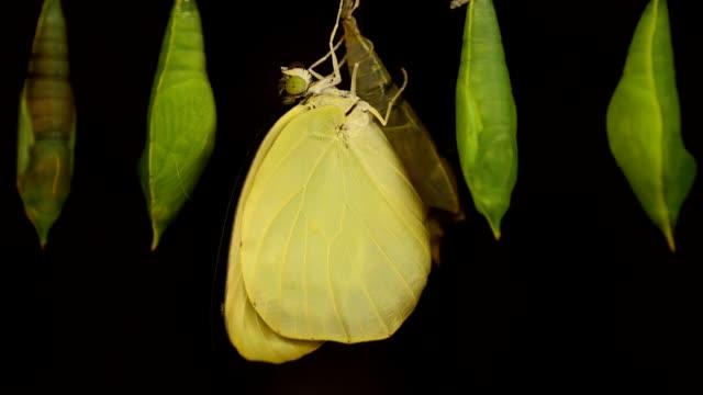 pupa and butterfly hanging on wood in farm. - farfalla ramo video stock e b–roll