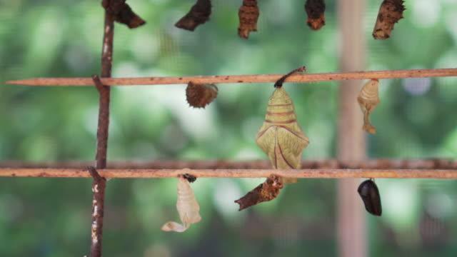 pupa of butterfly hanging on wood in farm - farfalla ramo video stock e b–roll