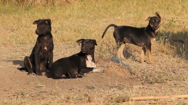 Puppies barking. video