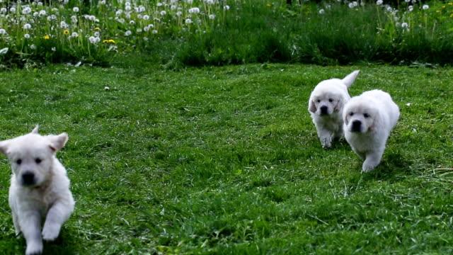 vídeos y material grabado en eventos de stock de cachorros golden retriever corriendo en un prado - animal joven