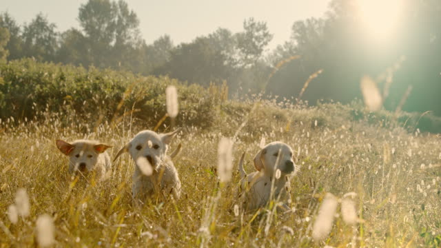 SUPER SLOW MOTION MS Puppies in meadow. Playing dogs.