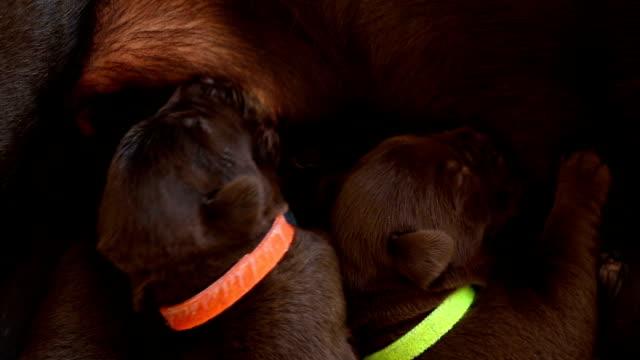puppies nursing video