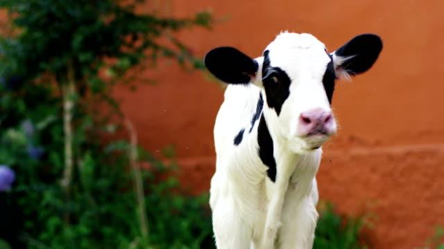 농부의 농장 의 정원에서 강아지 가축 건강 한, 유기가져온, 정확 하 고 자연 식품으로 강하고 강력한 성장을 만들기 위해. - 암소 스톡 비디오 및 b-롤 화면