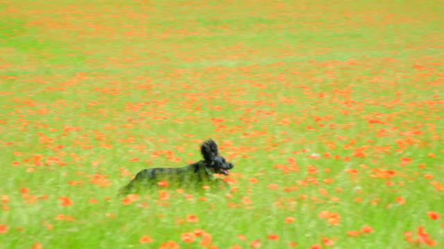 Ein Welpe Cocker Spaniel läuft und hüpft in Zeitlupe durch eine Blumenwiese. – Video