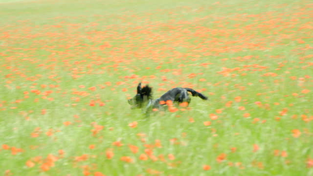 A puppy Cocker Spaniel running and bouncing through a flower meadow in slow motion.
