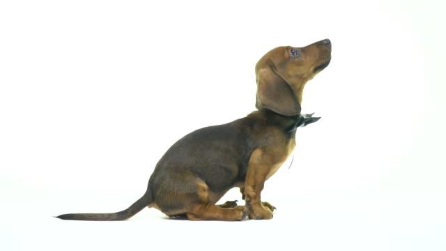 Hund Dackel schaut seinen Besitzer – Video