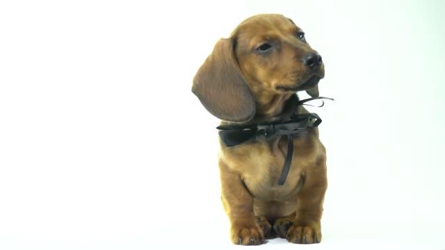 Hund Dackel sitzen und schaut in die Kamera auf einem weißen Hintergrund – Video