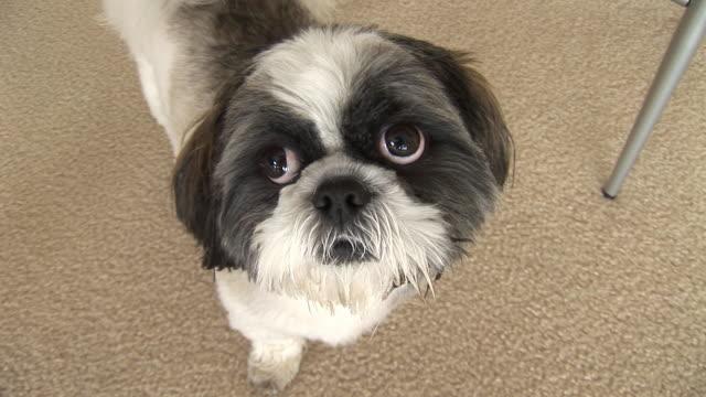(hd1080i) welpe hund posiert für fotos - schnauze stock-videos und b-roll-filmmaterial