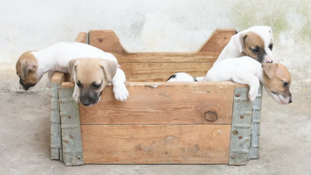 Puppy dogs in wood box Jack russel puppy dogs in wood box puppy stock videos & royalty-free footage