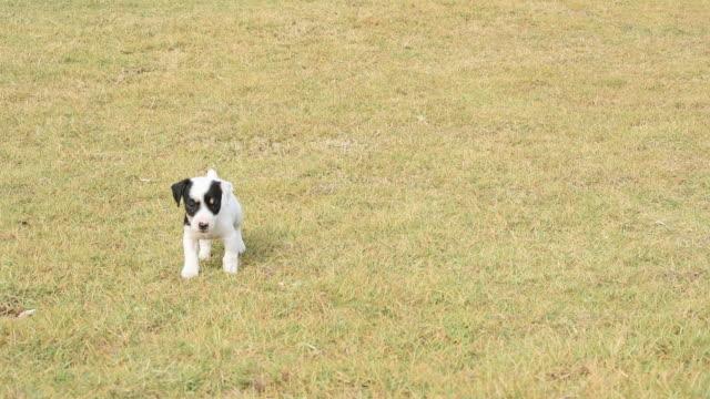 子犬犬を横切る草フィールド - 愛玩犬点の映像素材/bロール