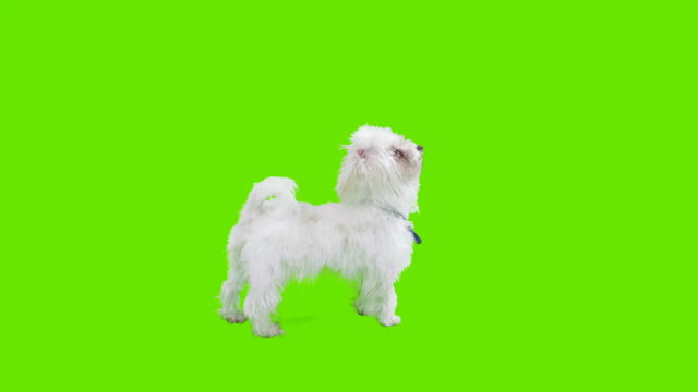 Puppy in front of green screen video