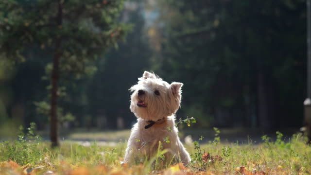 puppy jumps and lifts the paw in autumn park - terrier video stock e b–roll