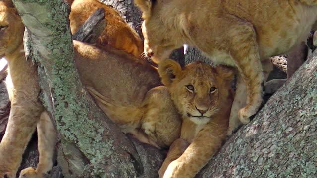 Puppy lion on tree video