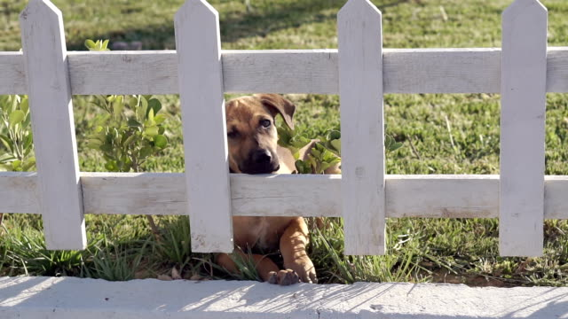 Puppy looking behind the fence. video