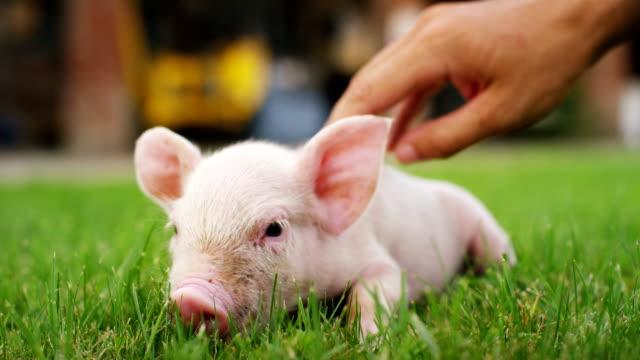 un cucciolo di maiale in un giardino di una fattoria di un contadino ha portato una crescita sana, biologica, per renderlo una crescita forte e robusta con un cibo corretto e naturale. - carino video stock e b–roll