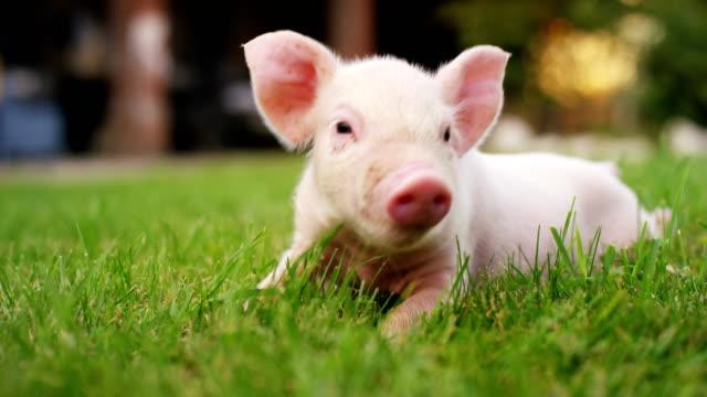 ein welpenschwein in einem garten eines bauernhofes eines landwirts brachte ein gesundes, biologisches, um es starkes und robustes wachstum mit einer richtigen und natürlichen nahrung zu machen. - schwein stock-videos und b-roll-filmmaterial
