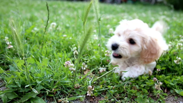 Puppy playing in a gras video