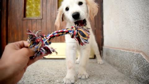 vídeos de stock e filmes b-roll de puppy playing with toy. - brinquedo