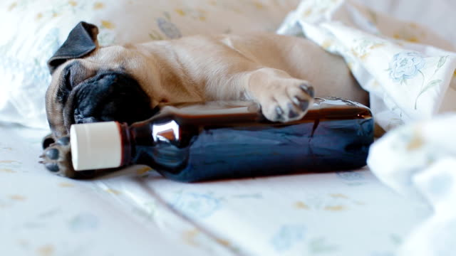 Puppy pug with a bottle of alcohol video