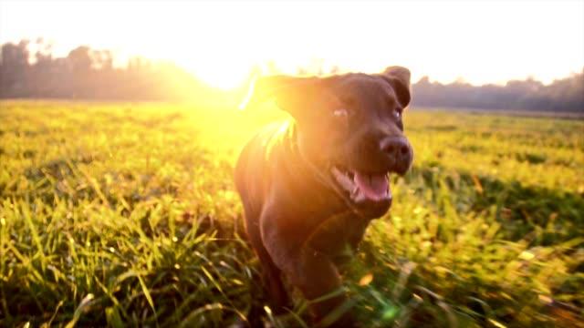 En cámara lenta cachorro corriendo en hierba - vídeo
