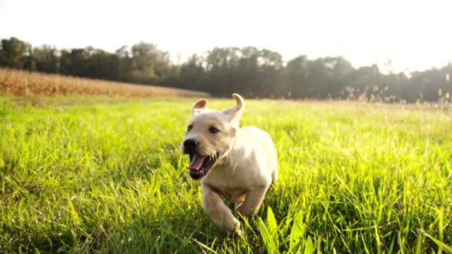 SLO MO Puppy Running In The Grass HD1080p: SLOW MOTION LOW ANGLE Camera Stabilization shot of a cute puppy running in high grass. The footage was shot in raw. Also available in 4K resolution. puppy stock videos & royalty-free footage