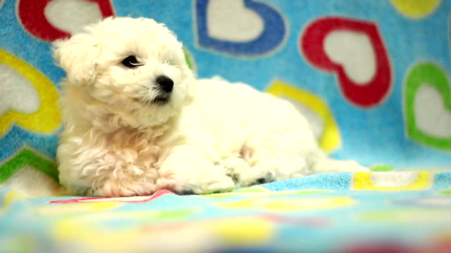 sonno di cucciolo - bichon frisé video stock e b–roll